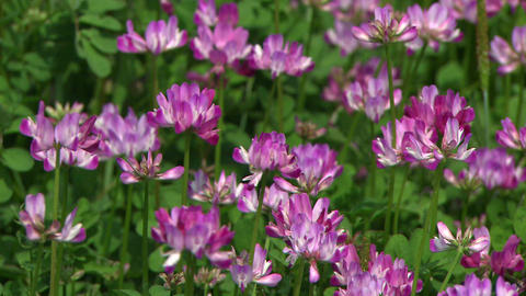 Chinese milk vetch Live Action