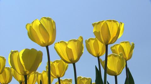 Tulip Live Action