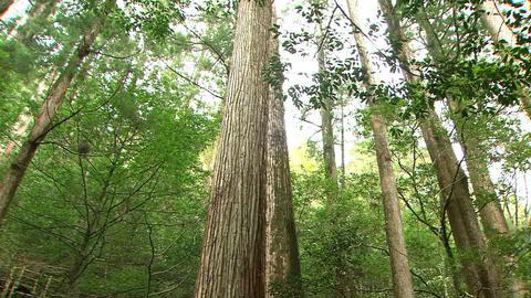 Japanese Cedar Live Action