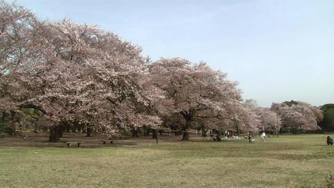 小金井公園 桜 ビデオ