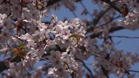 桜 ライブ動画