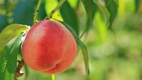 Harvest of peaches Footage