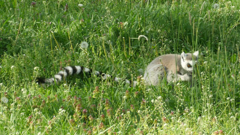 Ring-tailed lemur eating herbs and flowers Footage