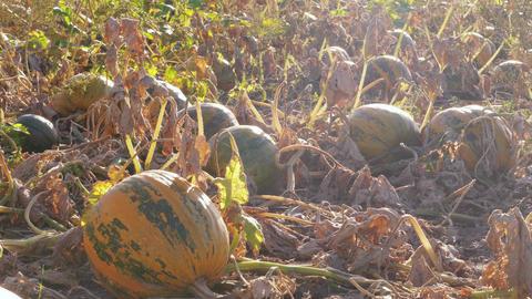 Growing ripe pumpkins on farm field, autumn agriculture Footage