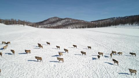 Herd of Wild siberian deer Footage