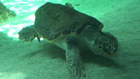 Sea Turtle Resting On Seabed Live Action