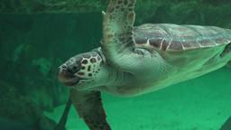 Sea Turtle Swimming In Aquarium Footage