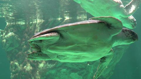 Sea Turtles Swimming Underwater Footage