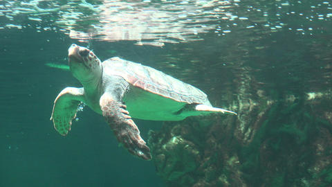 Sea Turtle Breathing Air At Water Surface Live Action