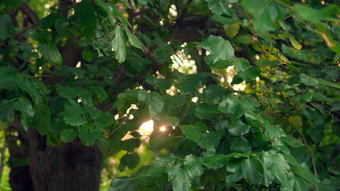 Leaves on a tree branch against a background of tree trunks in the warm rays of Live Action