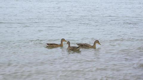 Wild ducks swim in the river 004 Live Action