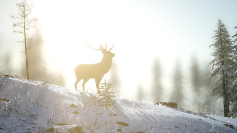Proud Noble Deer Male in Winter Snow Forest Live Action