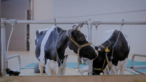 Two milking cows eating hay at agricultural animal exhibition, trade show Footage