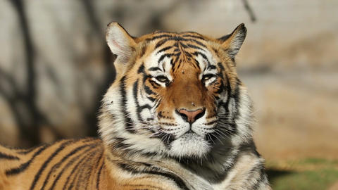Bengal tiger portrait Footage