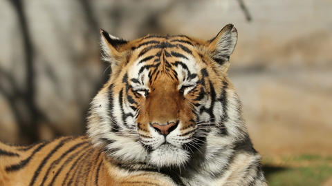 Bengal tiger portrait Stock Video Footage