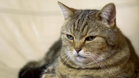 A British cat lies on an armchair and falls asleep. Cat face close up Live Action
