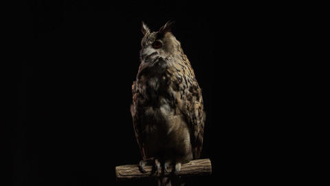 Massive owl, predator bird is sitting on a branch, looking around Live Action