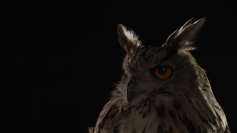 Predator bird, close up of a big owl with big orange eyes Live Action