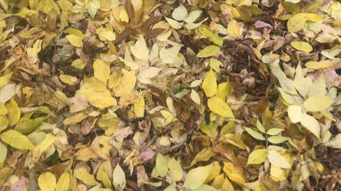 Autumn Scene.Yellow ground with leaves from Trees in autumnal Park. Autumn Live Action