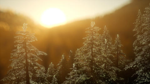 Pine forest on sunrise with warm sunbeams Live Action