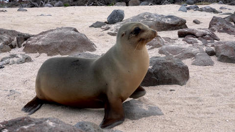 Galapagos sea lion walks rapidly across sand Live Action