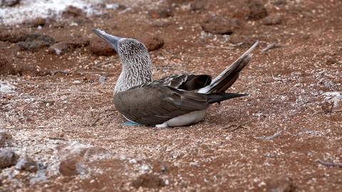 Female Blue Footed Booby Sits on Eggs Live Action
