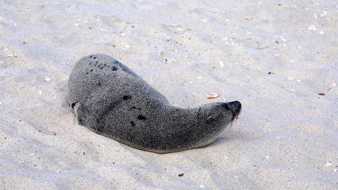 Galapagos sea lion is totally covered in sand Live Action