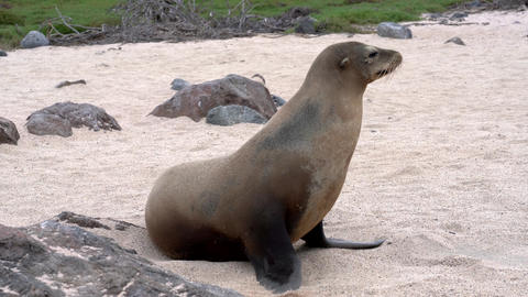 Galapagos sea lion walks across frame Live Action