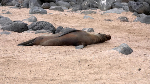 Galapagos sea lion lies on sand and waves his flipper Live Action