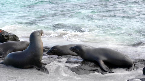 Galapagos sea lion show territorial behavior in surf Live Action