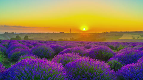 Sunrise Over A Field Of Lavender Footage
