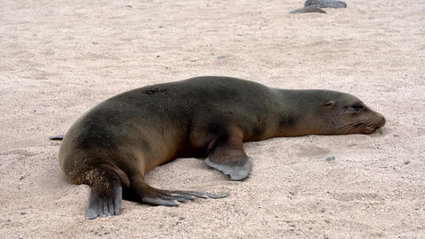Galapagos sea lion twitches while trying to sleep on sand Live Action