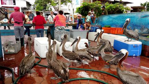 Galapagos, Ecuador - 2019-06-20 - Tourists Watch Fish Seller As Brown Pelicans Footage