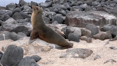 Galapagos sea lion walks to ocean Live Action