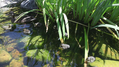 Duck family swimming in the pond Stock Video Footage