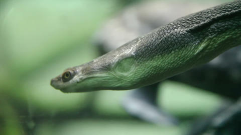 Snake-necked turtle swimming underwater Stock Video Footage