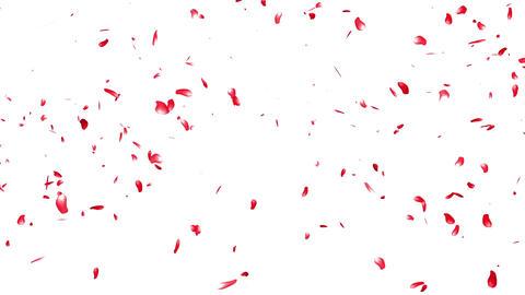 Falling Sakura Petals Cherry Blossoms 4 red Stock Video Footage