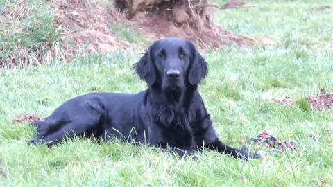Flatcoated Retriever Lying Down Stock Video Footage
