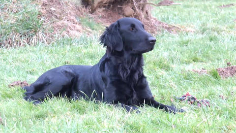 Flatcoated Retriever Lying Down Footage