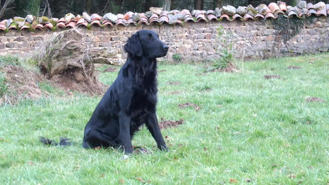 Flatcoated Retriever sittig down Stock Video Footage
