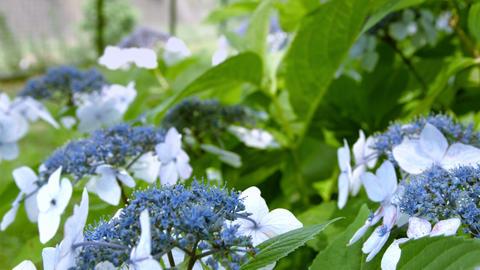 Ajisai means Blue hydrangea in Japanese Footage