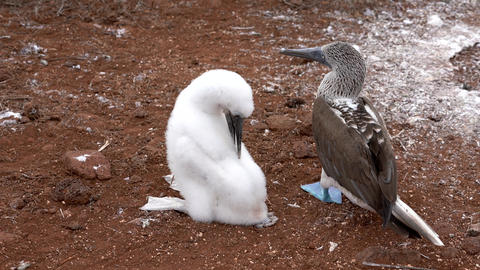 Blue Footed Booby Mother and Baby Both Preen Live Action