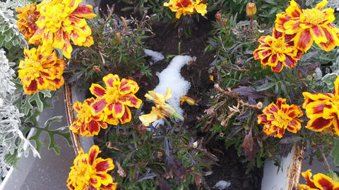 Flower bed with marigolds in the snow. Autumn background Live Action