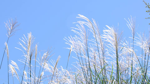 Tokyo,Japan-October 13, 2019: Miscanthus or silver grass or pampas grass blown by the wind, the blue Live Action