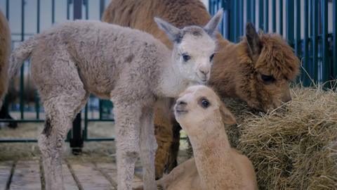 Two cute little alpacas playing together at agricultural animal exhibition Footage