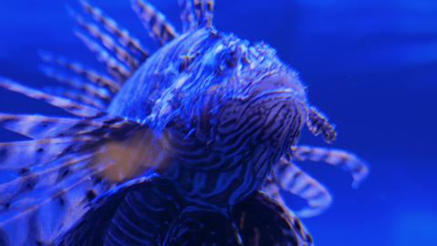 Ugly striped lionfish with venomous spines. Blue light Live Action