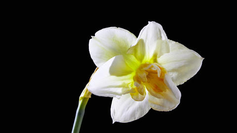 Narcissus Flower Live Action