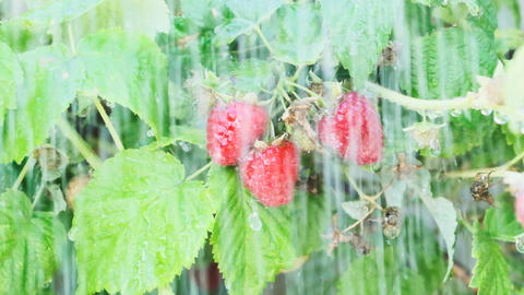 Raspberry on a Branch in the Rain Archivo
