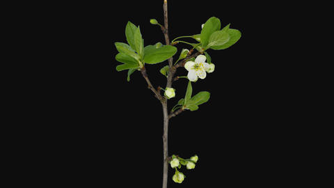 Time-lapse of blooming plum tree branch with ALPHA channel Archivo