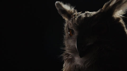 Owl with big eyes is sitting in a dark room, wildlife, predator bird Live Action